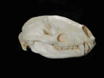European Old World Badger Skull