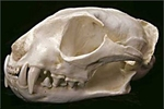 Fishing Cat Skull