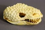 Gila Monster Male Skull