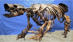Glossotherium Harlan's Ground Sloth Skeleton