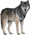 Gray Wolf Wall Sticker