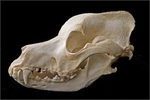 Great Dane Skull