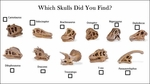 Safari LTD Dino Dig Skulls,  11 pcs