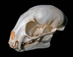 Kinkajou Honey Bear Skull