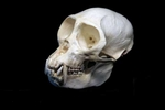 Mona Monkey Skull, Male