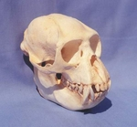 Monkey, Black and White Colobus Skull