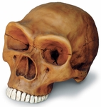 Neanderthal Cranium with Stand