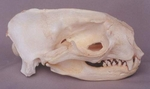 Northern Alaska Fur Seal Skull