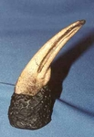 Ornithomimus Dinosaur Foot Claw, 4 inch