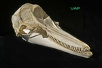 Pacific White-sided Dolphin Skull