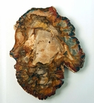 Petrified Wood Araucaria