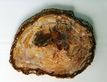 Petrified Wood Aracuaria 7.5""