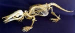 Platypus, Duck-Billed Skeleton