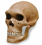 Neanderthal Skull with Stand