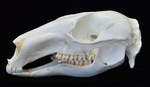 Pretty Faced Wallaby Skull