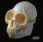 Purple-Faced Langur Skull, Female
