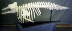 Pygmy Sperm Whale Skeleton