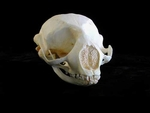 Ribbon Seal Skull