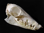 Golden Rumped Elephant Shrew Skull