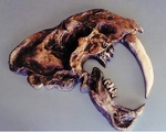 Saber Tooth Cat Skull Plaque
