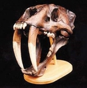 Saber Tooth Cat Skull