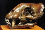 Saber Tooth Cat Skull Juvenile