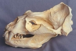 South American Sea Lion Male Skull