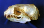 South American Sea Lion Female Skull