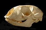 Bearded Seal Skull