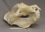 California Elephant Seal Skull