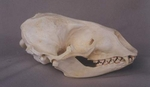 Harbor Seal Skull
