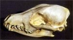 Side-Striped Jackal Skull