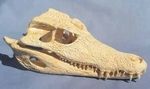 Smooth Fronted Caiman Skull