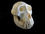 Sooty Mangabey Skull, Male