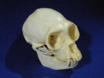 Spider Monkey Skull, Male