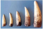 Spinosaurus Teeth, 2 Sets