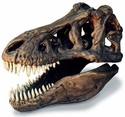 Tyrannosaurus rex Skull Fossil Replica with Stand, 13""