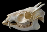 Tufted Deer Skull