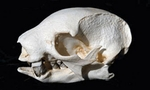 Two-Toed Tree Sloth Skull, Male