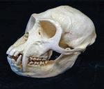Vervet Green Monkey Skull, Male