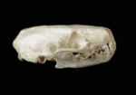 Western Spotted Skunk Skull, Male