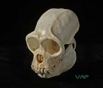 Woolly Monkey Skull