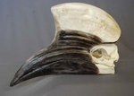 Yellow-Casqued Hornbill Skull