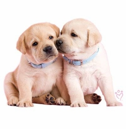 SALE! Pair of Golden Retriever Puppies Plus Size & Supersize Dog T-Shirts S M L XL 2x 3x 4x 5x 6x 7x 8x (Lights Only)