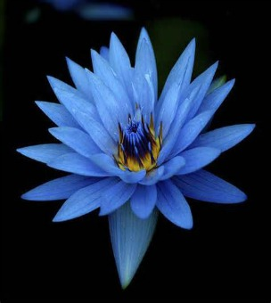 Blue lotus oil absolute india nymphaea caerulea mightylinksfo Image collections