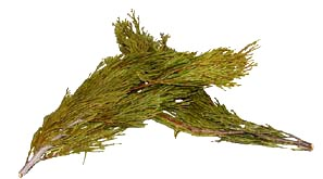 "Cedar Leaf- flat ""incense cedar"""