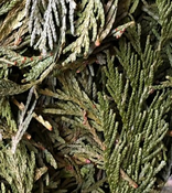 Cedar Leaf(Libdocedrus descurrens) - United States
