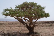 Frankincense Essential Oil (Boswellia Neglecta) - Kenya