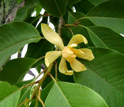 Golden Champa Absolute: India (Michelia champaca)