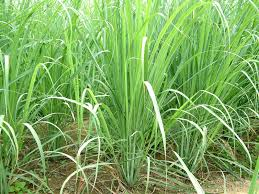 Lemongrass Essential Oil (Cymbopogon citratus) Guatemala